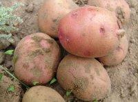 Картофель из Финляндии