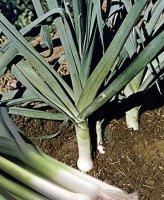 Лук порей (Allium porrum)