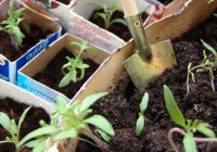 Предпосевное намачивание семян
