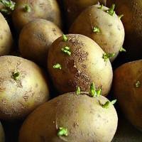 Подготовим картофель к посадке
